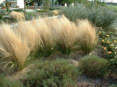 graminées ornementales dans le jardin- cheveux d'ange -Stipa Tenuifolia-