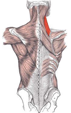 Leg muscle pain trigger points Anatomy of a Muscle Knot. Massage Therapy provides a variety of techniques that lengthen and separate muscle fibers in order to reduce tension and pain. Mid Back Pain, Muscle Knots, Latissimus Dorsi, Trigger Point Therapy, Ankylosing Spondylitis, Muscle Anatomy, Trigger Points, Back Pain Relief, Muscle Pain