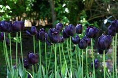 Black Beauty tulips....the only tulips I would ever plant....beautiful!!!!!!