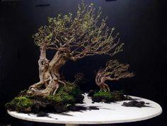 Black Scissors Work of Juan Album. Tree: Desmodium - bluebell tree. Picture of Juan Llaga's Facebook feed.
