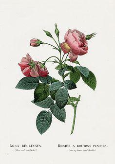 P. J. Redoute Les Roses Prints 1828