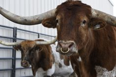 Fitbit for cows: Yay or hay?    HerdDogg's biometric ear tag is a kind of fitness tracker for cattle, ushering in new type of precision agriculture.   http://feeds.denverpost.com/~r/dp-business/~3/8TP4iW8CRF8/