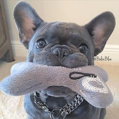 Balou, the  French Bulldog, is ready to play.