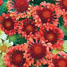 Blanket Flower Fanfare Blaze
