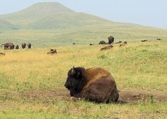 Buffalo - Custer State Park, South Dakota, August 20, 2007 (pinned by haw-creek.com)