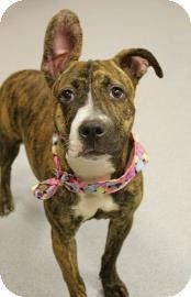 Chicago IL - Pit Bull Terrier Mix. Meet Molly a Dog for Adoption.