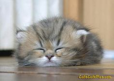 Napping kitten