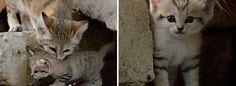 gatinhos-do-deserto-2-focinhos-urbanos