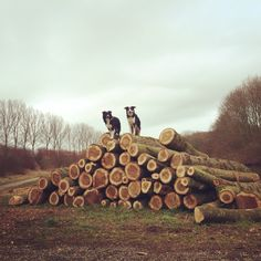 Sniffing and climbing on trees! #dogsonlogs