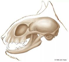 череп рисунок анатомия кошка: 11 тыс изображений найдено в Яндекс.Картинках