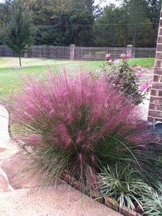 """Pink Muhly Grass"" BirdsandBlooms ~ blooms Sep - Oct. I saw these at Lowe's and am headed back to get them. It so happens they're perfect in my zone ; )"