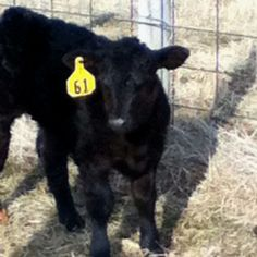 Tebow, the black angus calf.