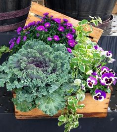 Fall Blooms for garden container: ornamental cabbage (flowering kale), aster, plectranthus and viola.