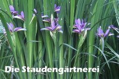 Iris graminifolia, 4,00 €, Die Staudengärtnerei - Der Staudensho