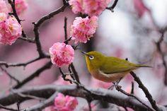 On Rainy Day, Japanese White-eye on Ume Tree by Mubi.