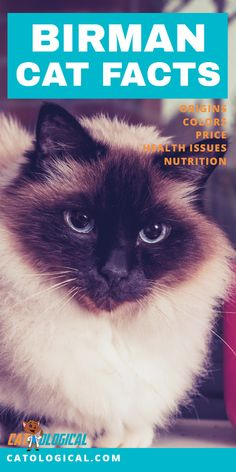 Learn some amazing facts about Birman cats and kittens! Where do Birmans come from? What color fur can they have? How much does it cost to buy one? Do they have any health issues you should be worried about? What about their nutritional needs? We go throu Cat Having Kittens, Cats And Kittens, Kitty Cats, Birman Kittens, Most Popular Cat Breeds, Cats Cast, Cat Health Care, Some Amazing Facts, Cat Nutrition
