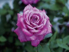 Climbing roses (Rosa spp.) are somewhat deceiving. They don't climb with tendrils or aerial roots like many vines do. Instead, they produce very long canes that can be secured to support ...