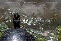 Turtle, Animals, Photos, Wild Animals, Turtles, Animales, Animaux, Tortoise Turtle, Animal Memes