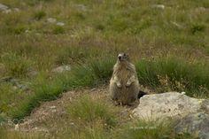 Marmotta - Marmota marmota by Washi