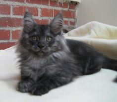 black smoke Maine coon kitten- our next cat
