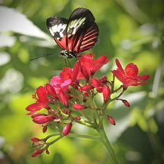 # butterfly # - Piano Key on Flower