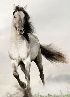 Beautiful horse running kicking up the dust. Light silver Dunn coloring.