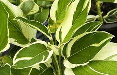 Maranta Arundinacea