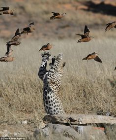 Hungry: The young leopard can be seen leaping through the air under the African sun to catch one of the Namaqua or Burchell breeds of the Sandgrouse birds