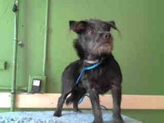 #A4755498 I'm an approximately 8 month old male terrier. I am not yet neutered. I have been at the Carson Animal Care Center since September 12, 2014. I will be available on September 16, 2014. You can visit me at my temporary home at C245.    Carson Shelter, Gardena, California.. https://www.facebook.com/171850219654287/photos/pb.171850219654287.-2207520000.1410813169./306308939541747/?type=3&theater
