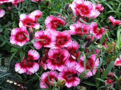 Dianthus Super Parfait Raspberry Live well-rooted Starter Plant in Bloom!