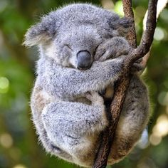 The koala, is Australia's national treasure and a rare and precious primitive arboreal in Australia. The English name Koala bear… Sleepy Animals, Cute Baby Animals, Animals And Pets, Funny Animals, Wild Animals, Animals Images, Nature Animals, Animal Pictures, Australian Animals