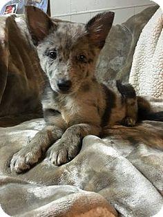 norridge, IL - Australian Shepherd/German Shepherd Dog Mix. Meet Bonnie, a puppy for adoption. http://www.adoptapet.com/pet/15104527-norridge-illinois-australian-shepherd-mix