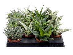 Set of four plants - Easy Care Succulents - For use in terrariums, fairy gardens and rockeries - Ideal for Windowsills, tables and shelves - Gift set of Aloes - Quirky cactus alternative