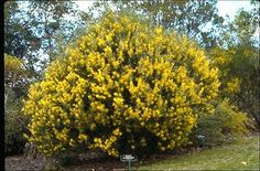 Acacia floribunda. Small plants with orchard trees for wind breaks and a source of nitrogen.