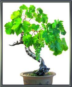 grape bonsai | grape_bonsai.jpg