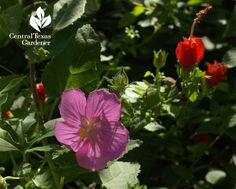Pavonia (rock rose) and Turk's cap are great drought tough plants that attract wildlife.