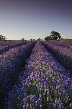 Lavender fields, U.K — Five Amazing Places To Visit