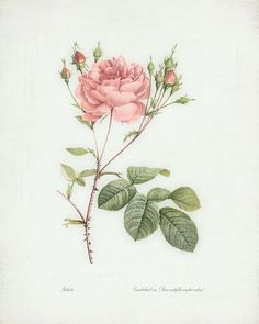 Redoute Roses Illustration Cumberland Rose by HighStreetVintage, $15.00