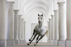Close to Vienna, a Lipizzaner canters through a ballroom-hall in Schlosshof, the biggest baroque palace in Europe.