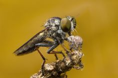 Robberfly and prey Jumping Spider, Animals, Animales, Animaux, Animal, Animais