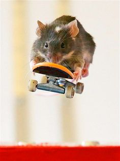 Pet owner Shane Willmott has trained his mice to ride skateboards. - I think I need to get some mini skateboards too.
