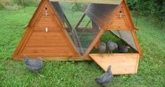 Raising chickens in backyard is always inspiring as they are adorable,lovely and at the same time re