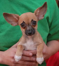 """Juliette, baby girl -- 1 of 5 """"Fairy Tale Puppies"""" debuting for adoption.  More pictures & information: http://nevadaspca.blogspot.com/2014/01/the-fairy-tale-puppies-debut-for.html"""