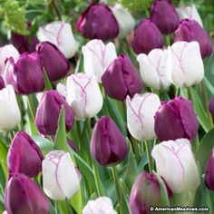 Purple and White Triumph Tulip Bulbs Purple Passion Mix, Tulipa, Triumph Tulips