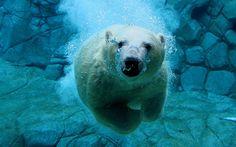 Polar Bear | Cutest Paw