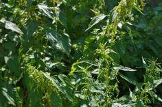 Jak připravit přírodní hnojivo – zákvas | Jak zužitkovat plevel Herbs, Plants, Composters, Herb, Planters, Plant, Spice, Planting