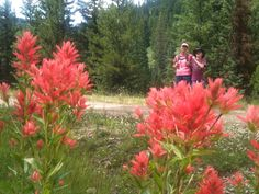 Indian Paintbrush: hiking down the trail to the Meadows (in Big Sky) - Susann and Grant Kammeyer