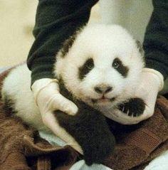 #panda #babypanda #cute