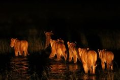 Matusadona_ChangaCamp_Lions.jpg