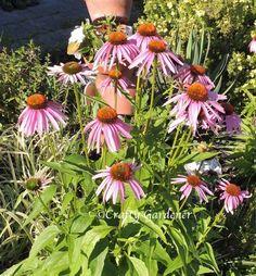 Summer blooms - purple coneflower